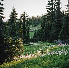 magic and meadows, part three (manyfires) Tags: film analog mtrainier mtrainiernationalpark mountrainier mountrainiernationalpark landscape mountains nwoutdoors outdoors nature hike hiking pnw pacificnorthwest summer hasselblad hasselblad500cm mediumformat alpine meadow wildflowers blossom bloom trees forest glow sunset golden magichour