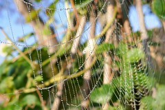P1130521 (harryboschlondon) Tags: harryboschflickr harrybosch harryboschphotography harryboschlondon october2018 october 2018 21stoctober2018 plantstreesandflowers botanical botanicalphotography nature naturephotography england englandphotography green cobweb spidersweb