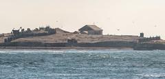 Año Nuevo Island (Erik Strahm) Tags: island sealion panorama birds animal pescadero california unitedstates us