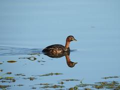 Grèbe castagneux (chriscrst photo66) Tags: birdwater bird animal oiseau grèbe castagneux eau lac algues nourriture gironde reflet nikoncoolpixp900