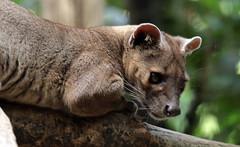 fossa duisburg 094A0015 (j.a.kok) Tags: fossa fretkat madagascar africa animal afrika predator mammal zoogdier dier duisburg