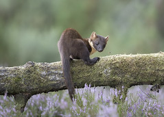 Pine Marten in the Black Isle (richard.mcmanus.) Tags: wildlife pinemarten marten blackisle scotland mcmanus jamesmoore britishwildlife