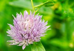 erba_cipollina2a (gennaroriccio1) Tags: flower grass allium macro macrophotography fiori erba cipollina violet