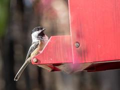 Chickadee (John M Poltrack) Tags: animalia aves birds blackcappedchickadee poecileatricapillus vertebrate lightroom
