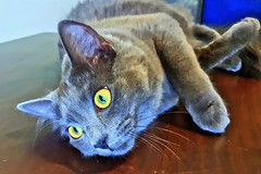 Trixie the cat (andrewcaswell) Tags: cat cats greeneyes green eyes catseyes feline pet pets hdr meow