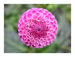 A different perspective! (Nina_Ali) Tags: pink closeup flora nature