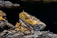 Chef (marcvazart) Tags: belleile bretagne france europe plage vacances oiseaux goéland rochers paysage