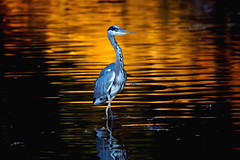 a Heron fishing at sunset (1/3) (Franck Zumella) Tags: fish fishing pecher under tree arbre heron hot chaud beak open bec ouvert nature animal summer été ete bird oiseau isle ile lake lac night nuit red rouge sunset couchant soleil sun light lumiere