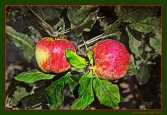 Apples (cienne45) Tags: apples mele studio study