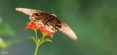 The Lantana Landing Pad (Jasper's Human) Tags: butterfly swallowtail lantana boycethompsonarboretum