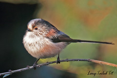 LONG-TAILED  TIT  // AEGITHALOS  CAUDATUS  (14CM) (tom webzell) Tags: naturethroughthelens