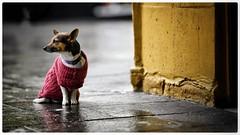 Waiting patiently (gro57074@bigpond.net.au) Tags: waiting color colour f14 105mmf14 artseries sigma d850 nikon sidewalk pavement jacket terrier dog rain street cbd sydney kingscross streetphotography