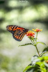 Mariposa Monarca (-juanfernando-) Tags: mariposa monarca parquedelapaloma canoneos450d
