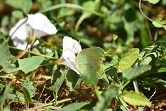 Gonepteryx cleopatra libando de Convolvulus (esta_ahi) Tags: santmagí mariposa papallona butterfly lepidoptera insectos fauna flor flora flores silvestres santmagídebrufaganya santmagídelabrufaganya pontils concadebarberà tarragona spain españa испания gonepteryx cleopatra gonepteryxcleopatra pieridae coliadinae convolvulus convolvulaceae