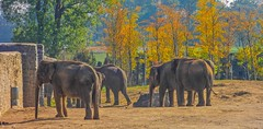 Elephants - 6027 (ΨᗩSᗰIᘉᗴ HᗴᘉS +23 000 000 thx) Tags: autumn éléphant pairidaiza season saison animal hensyasmine namur belgium europa aaa namuroise look photo friends be wow yasminehens interest intersting eu fr greatphotographers lanamuroise