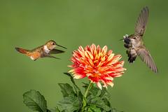 Rufous and Black-chinned Hummingbirds (Eric Gofreed) Tags: arizona hummingbird multiflashphotography mybackyard sedona