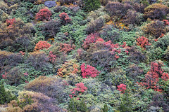 Colorful shrubs en route to Thrika - Gasa District - Snowman Trek - Bhutan (PascalBo) Tags: nikon d500 asie asia southasia asiedusud drukyul drukgyalkhap bhutan bhoutan འབྲུག་ཡུལ། འབྲུག་རྒྱལ་ཁབ་ snowman trek trekking hike hiking lunana gasa himalaya himalayas jigmedorjinationalpark forest arbre tree vegetation forêt mountain montagne autumn automne fall outdoor outdoors pascalboegli