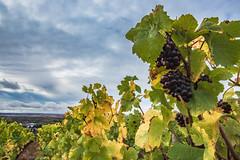 Le temps des vendanges / Grape harvesting time (dbrothier) Tags: joigny yonne france fr raisin vigne seasonsflora smileonsaturday eos6d canon6d canon canonef1740mmf4lusm lr bourgogne burgundy wine grape bourgognecôtesaintjacques nwn