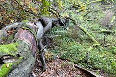 Inderø Skov ved Hald Sø 09 - Væltet træ (Walter Johannesen) Tags: hald sø morgen natur nature morning skov træ tree træer trees wood