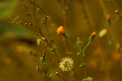 Октябрьские одуванчики / October blowballs (Владимир-61) Tags: одуванчик октябрь осень природа флора цветы blowball october autumn nature flora sony ilca68 minoltaaf50mm