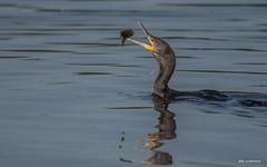 Mit dem Essen spielt man nicht. (wernerlohmanns) Tags: wildlife wasservögel natur outdoor nikond750 sigma150600c deutschland naturpark nabu nsg rohrdommelprojekt