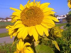 Sunflower (CarenPolarBears) Tags: 2dwf sunflower newbeginning