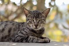 Lazy Toffee (hasham2) Tags: cat pet portrait bokelicious stripes tabby lazy caturday canon eosm ef50mmf14usm