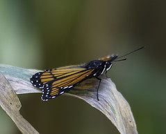 MonarchButterfly_SAF4968 (sara97) Tags: danausplexippus butterfly copyright©2018saraannefinke endangered insect missouri monarch monarchbutterfly photobysaraannefinke pollinator saintlouis
