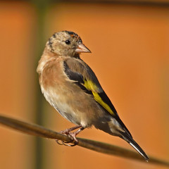 Goldfinch (42jph) Tags: wildlife nature bird nikon d7200 sigma 150500 uk england blyth northumberland goldfinch finch