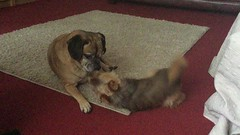 08 Oct 18 Lily and Taz. (@daz_reynolds) Tags: lily taz dogs video