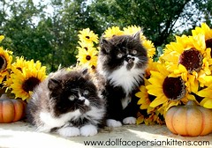 Cute Kitten Pictures (dollfacepersiankittens.com) Tags: persian kittens for sale doll face trisha johnson dollface cutekittenpictures cutecatpictures cutekittens cutecats catsofinstagram catstagram catpictures cats kittensofig kittensofinstagram persiankittens persiankitten