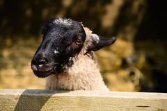 Sheep (SnapshotsByEllie) Tags: nikon nikonphotography nikond3200 justgoshoot photooftheday amateur amateurphotography beginner beginnerphotographer sheep animal animalphotography farm stonehurstfarmandmotormuseum stonehurstfarmandmotor stonehurstfarm mountsorrel leicestershire england uk unitedkingdom