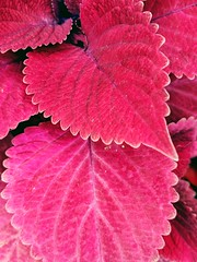 for a change with my Pixel (annapolis_rose) Tags: leaves redleaves redheadcoleus