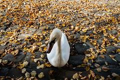 20181013-041 (sulamith.sallmann) Tags: tiere autumn berlin deutschland herbst reinickendorf schwan tegel tier vogel sulamithsallmann