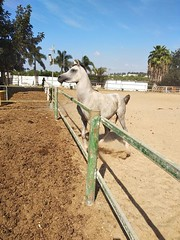 6 (redi3103) Tags: egyptian arabian horse for sale buy champion