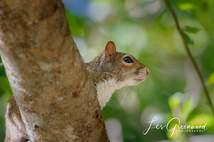 McKee-3 (Les Greenwood Photography) Tags: squirel nature wildlife tree mckee florida