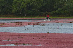 Cranberry Shake Down in the Rain (brucetopher) Tags: cranberry cranberries bog berry berries red float harvest fruit fall autumn unique unusual specialized water pond farming agitate shake shaking farmequipment equipment tools traditional floating farm agriculture oceanspray grower growers local fresh food