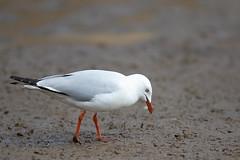 376A1973 (bon97900) Tags: bird silver gull silvergull scavanger southaustralia 2018 whitesroadwetlands