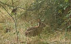 Lapin de garenne - IMBF8455 (6franc6) Tags: réserve scamandre septembre 2018 occitanie languedoc gard 30 petitecamargue 6franc6