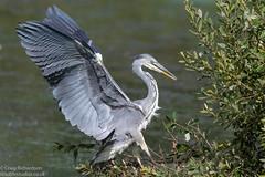 Grey Heron (Wildlifestudios) Tags: greyheron bird nature wildlifestudios wildlife blashfordlakes dorset craigrichardson