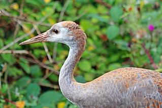Sandhill Crane Juvenile 18-0901-1902