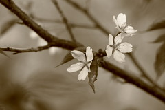 Messages of Spring (jttoivonen) Tags: nature outdoors finland creativecommons detail flower plant closeup macro bokeh monochrome spring