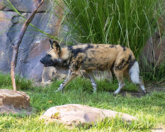 An African Painted Dog on the prowl (Harry Rother) Tags: african painted dog safari