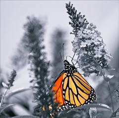 Colour Select (Sue90ca Still No Flic*kr At Work :() Tags: canon 6d weeklythemechallenge colour select monarch