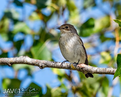 Spotted flycatcher (Muscicapa striata), juvenile_0824 (George Vittman) Tags: bird insect fly nikonpassion wildlifephotography jav61photography jav61
