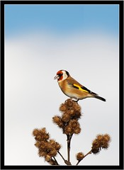 GOLDFINCH { feeding on burdock seed heads } (PHOTOGRAPHY STARTS WITH P.H.) Tags: nikon d500 200500mm afs vr burdock seed heads goldfinch