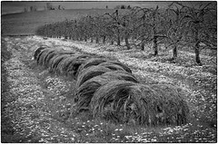 Hay Bails & Dandelions (Colin Campbell Photography) Tags: annapolisvalley novascotia annapolis appleorchard blackandwhite dandelion haybales monochrome