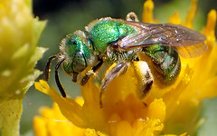 Green Sweat Bee (Agapostemon texanus) (J.Thomas.Barnes) Tags: bee
