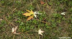 Autumn Leaves (rumimume) Tags: potd rumimume 2017 niagara ontario canada photo canon 80d sigma fall autumn outdoor leaf colour day grass 2018