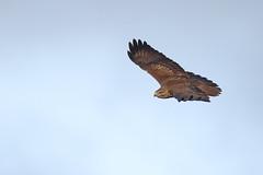Buzzard drifting by (Robin M Morrison) Tags: buzzard exmoor flying fli
